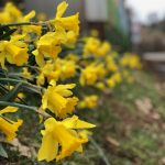 Rainbow Orchards- Daffodils at the barn